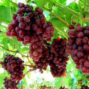 Grape – Flame Seedless