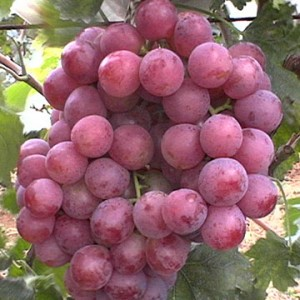 Grape-Red-Red-Globe-360×360-redglobegrapes