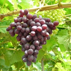 Grape-crimson-01